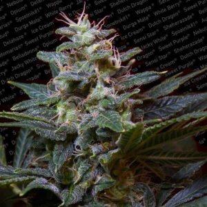 sweet purple feminized1