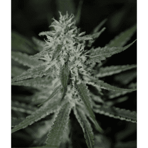 Automatic-Fini_SuperStrains_Autoflowering_Cannabis_Seeds-800x800[1]