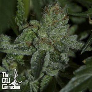 Buddha-Tahoe-OG-Choice-Cali-Connection-Seeds[1]