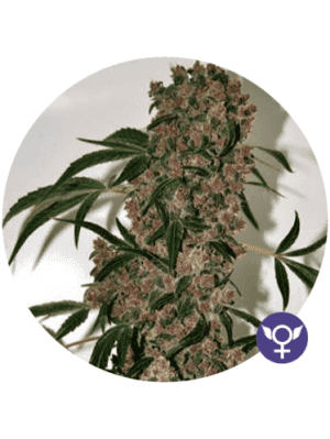 GIRL SCOUT COOKIES XTRM