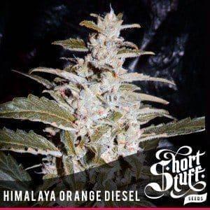 Himalaya Orange Diesel Regular