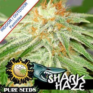 Pure Seeds shark haze nasiona marihuany mm1