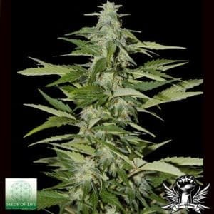 Seeds Of Life Hindiana Autoflowering1