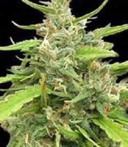 Seedsman-Sugar-Haze-Regular-Cannabis-Seeds[1]