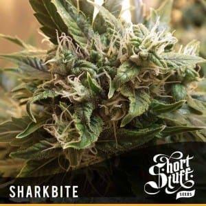 Short Stuff Dwarf Sharkbite 300x3001