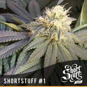 Short Stuff Dwarf Shortstuff no1 300x3001