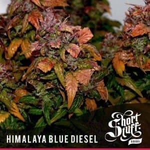 Short_Stuff_Next_Gen_Himalaya_Blue_Diesel-300x300[1]
