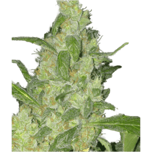 Turing-Autoflower_SuperStrains_Autoflowering_Cannabis_Seeds-800x800[1]