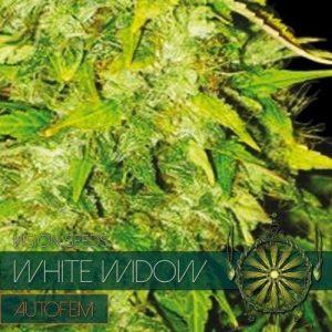 autofem-vision-seeds-white-widow-500x500-1-500x500[1]