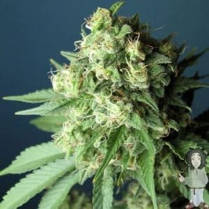cali connection green crack feminised seeds 5001