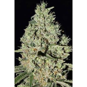 dfa-autoflowering-super-strains-feminized[1]
