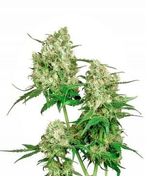 Maple Leaf Indica® Seeds Regular