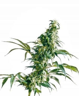 Mexican Sativa® Seeds Regular