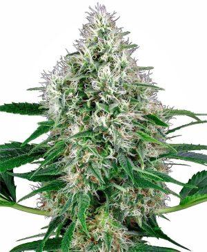 pure pure power plant autoflowering xl1 1