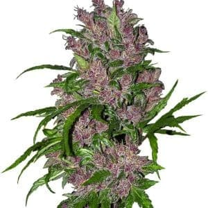 purple-bud-autoflowering-xl[1]