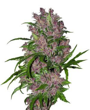 purple bud autoflowering xl1 1