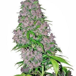 purple-bud-xl[1]