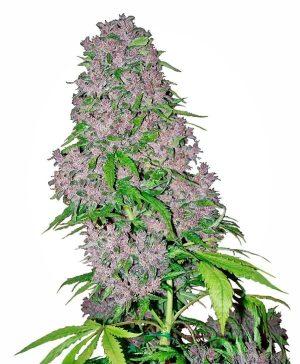 purple bud xl1 1
