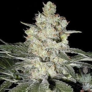 seedsman-original-skunk-1-seeds_500[1]