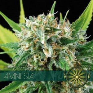 vision-seeds-amnesia-500x500-1-500x500[1]