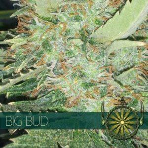 vision-seeds-big-bud-500x500-1-500x500[1]