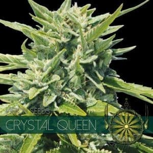 vision seeds crystal queen 500x500 1 500x5001