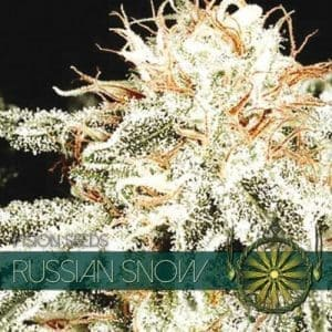 vision seeds russian snow 500x500 1 500x5001