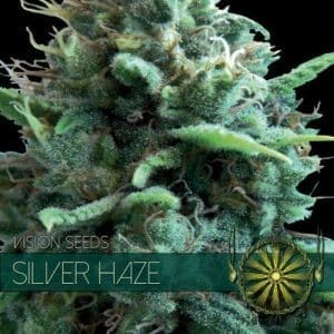 vision seeds silver haze 500x500 1 500x5001