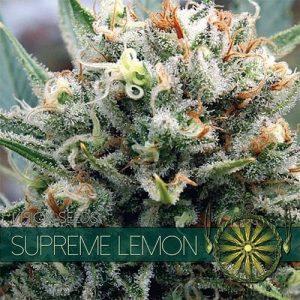 vision-seeds-supreme-lemon500x500-500x500[1]
