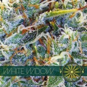 vision seeds white widow 500x500 1 500x5001
