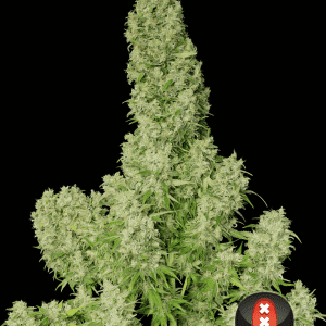 white russian whole plant choice 2 pic1