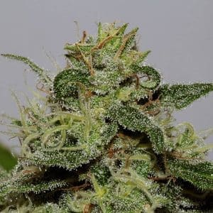 xseedsman-cbd_critical_mass_4.jpg.pagespeed.ic._WGlvtGicU[1]