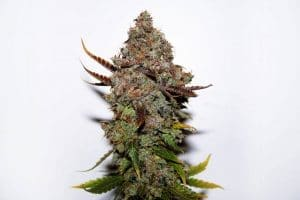 xseedsman fem original skunk 1.jpg.pagespeed.ic .fE7 KGlTlu1