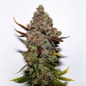 xseedsman-fem_original_skunk_1.jpg.pagespeed.ic.fE7_KGlTlu[1]