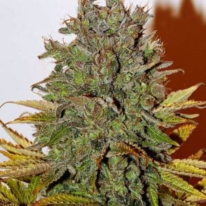 xseedsman-fem_white_widow_8.jpg.pagespeed.ic.zjlainJl7-[1]