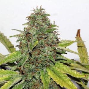 xseedsman-reg_velvet_bud_6.jpg.pagespeed.ic._pyMB9you1[1]