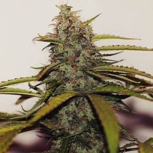 xseedsman-reg_white_widow_3.jpg.pagespeed.ic.aV0OfSZA-b[1]