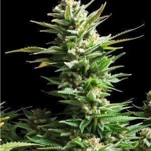 Amaranta Seeds   Amnesia Haze1