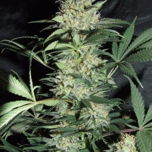 Amaranta Seeds   Silver Haze1
