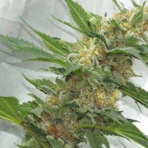 CREATION semillas de cannabis del banco KETAMA SEEDS1