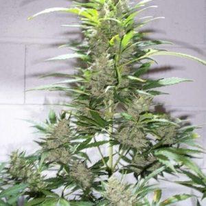 CREATIVE AUTO semillas de marihuana autoflorecientes KETAMA SEEDS 500x5001