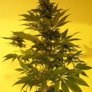 CRITICAL AUTO semillas de marihuana autoflorecientes KETAMA SEEDS 500x5001