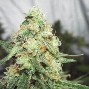 KETAMA CHEESE semillas de marihuana ketama seeds bank 500x5001