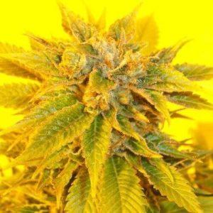 KETAMA KUSH semillas de marihuana feminizadas KETAMA SEEDS 500x5001