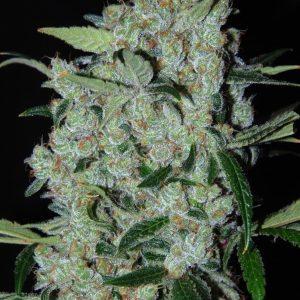Purple Mexican 1 DSC 0032c1