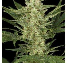 amaranta seeds birrie jack auto1