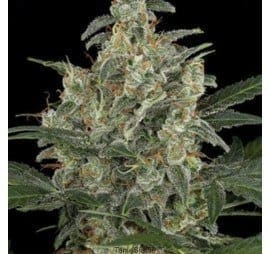 amaranta-seeds-g-power-cheese-automatic[1]