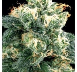 amaranta-seeds-power-plant[1]