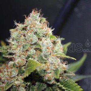 bcn-sourdiesel-medicalseeds[1]