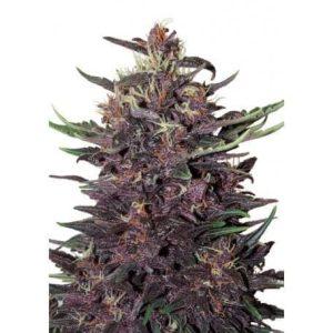 buddha purple kush1
